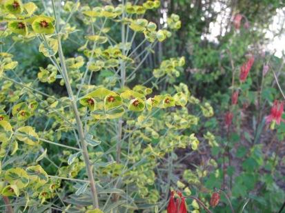 Euphorbia 'Ascot Rainbow' (Ascot Rainbow Spurge) and Aquilegia canadensis (Eastern red columbine)