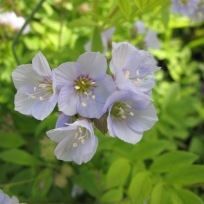 NCBG April 11, 2016 Polemonium reptans (Spreading Jacob's Ladder)