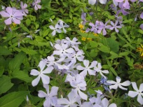 Packera aurea (Golden Ragwort) and Phlox divaricata (Eastern Blue Phlox)