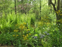 Packera aurea (Golden Ragwort) and Phlox divaricata (Eastern Blue Phlox) and Ferns