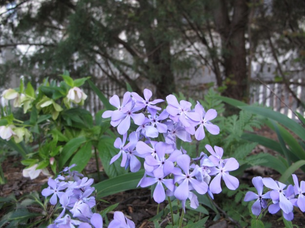 Growing at pbmGarden: Phlox divaricata (Eastern Blue Phlox)