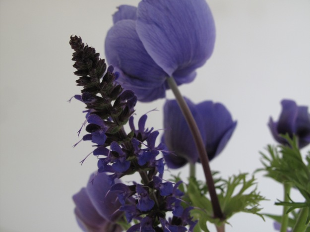 Salvia nemorosa 'May Night' (Hardy Sage) and Anemone coronaria 'Mr. Fokker'