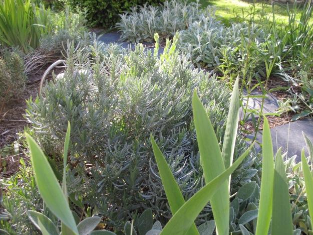 Side Path-Iris, Lavender and Stachys byzantina (Lamb's Ear)