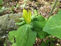 NCBG April 11, 2016 Trillium luteum (Yellow Trillium)