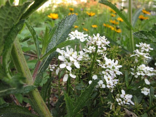 Verbena bonariensis (Tall Verbena), Iberis Sempervirens (Candytuft) and Coreopsis