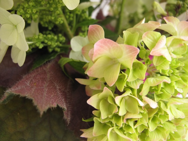 Heuchera villosa 'Big Top Bronze' foliage with Hydrangeas
