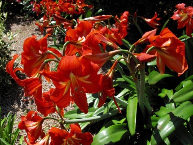 Hippeastrum (Amaryllis) in Sisters' Garden