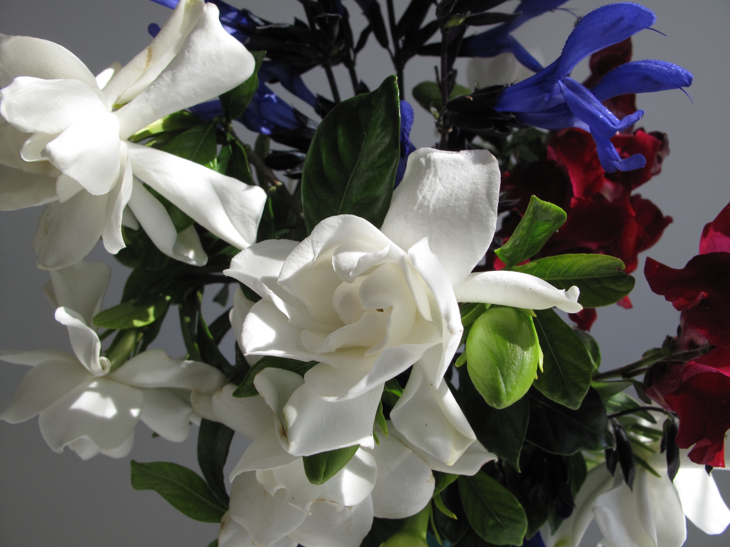 In A Vase On Monday—Gardenias With Blue And Red   pbmGarden