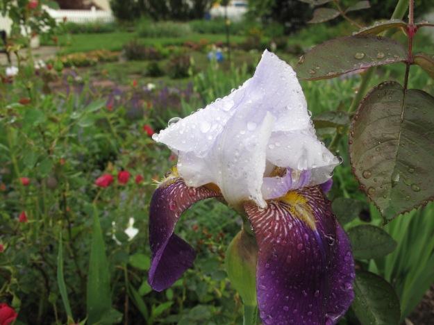 Iris germanica (Bearded iris) (bearded German Iris)