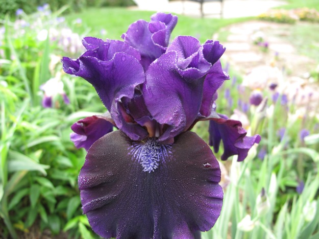 Iris germanica (Tall bearded iris)- black iris
