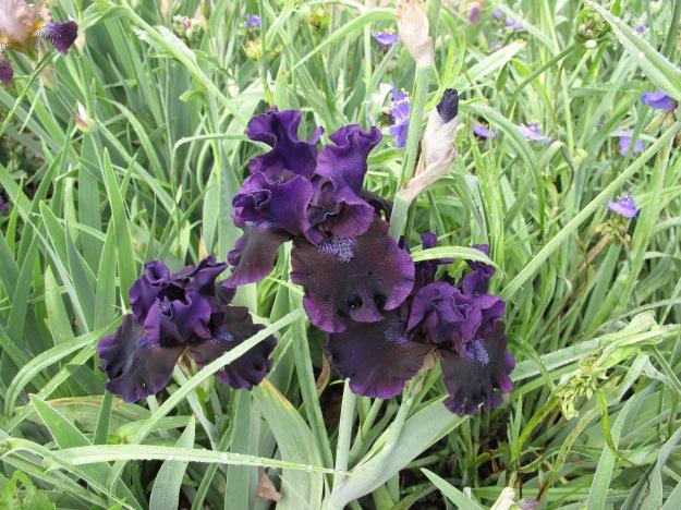 Iris germanica (Tall bearded iris)