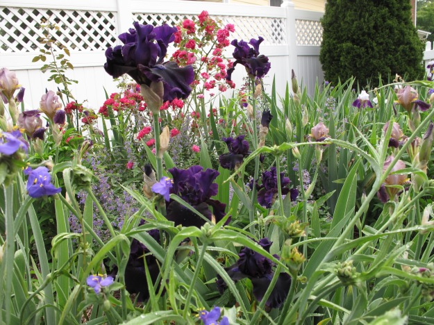 Iris germanica (Tall bearded iris)