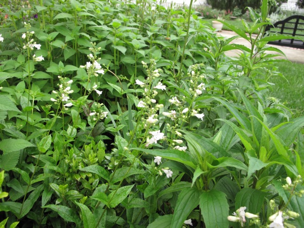 One Gardenia jasminoides 'August Beauty' has become swamped by surrounding plants.
