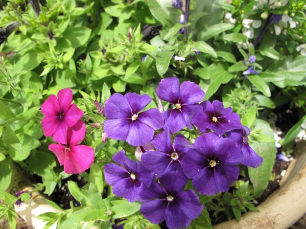Phlox 'Intensia Cabernet', Phlox 'Intensia Blueberry'