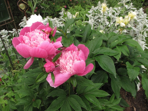 Pink Peony with Stachys byzantina (Lamb's Ear) and pale yellow Iris