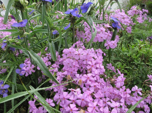 Tradescantia (spiderwort), Phlox divaricata (Woodland phlox)