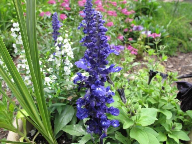 Velocity Blue Salvia (blue sage)