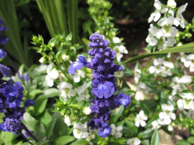 Velocity Blue Salvia (blue sage), white Angelonia