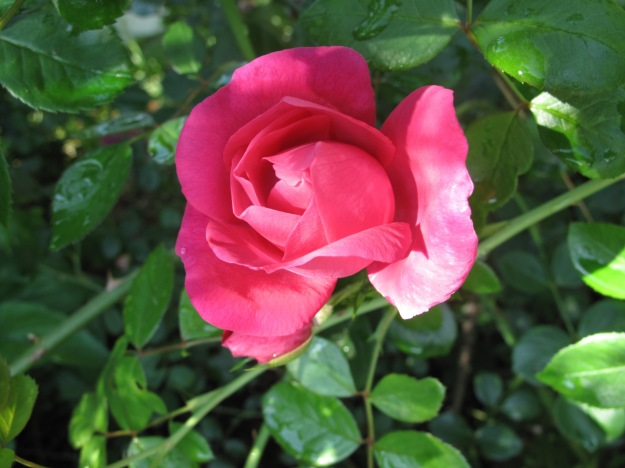 Virgie's Old-fashioned Rose