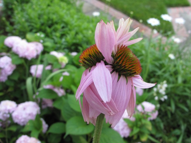 A double. Echinacea purpurea (Purple Coneflower)
