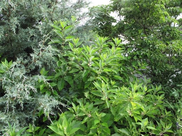 Arizona Cypress, Callicarpa americana,Cornus florida