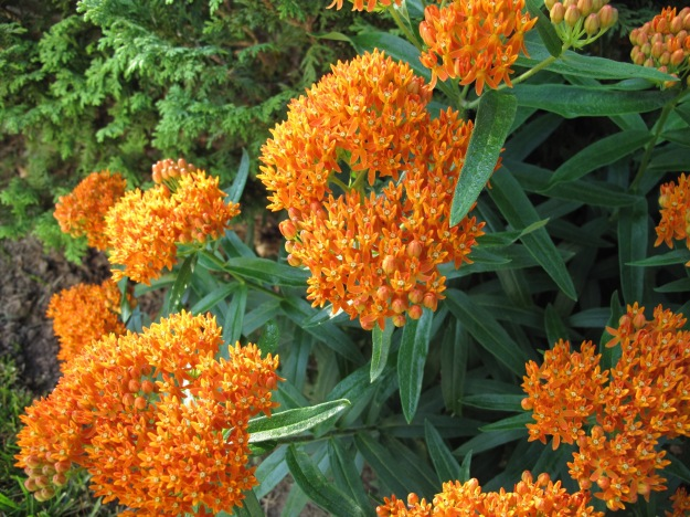 Asclepias tuberosa (Butterfly Plant)