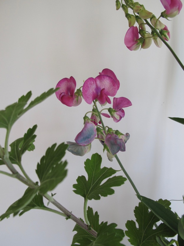 Chrysanthemum leaves and Lathyrus latifolius (Perennial Sweet Pea)