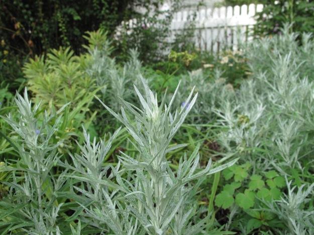 Euphorbia 'Ascot Rainbow', Dusty Miller and Eastern columbine