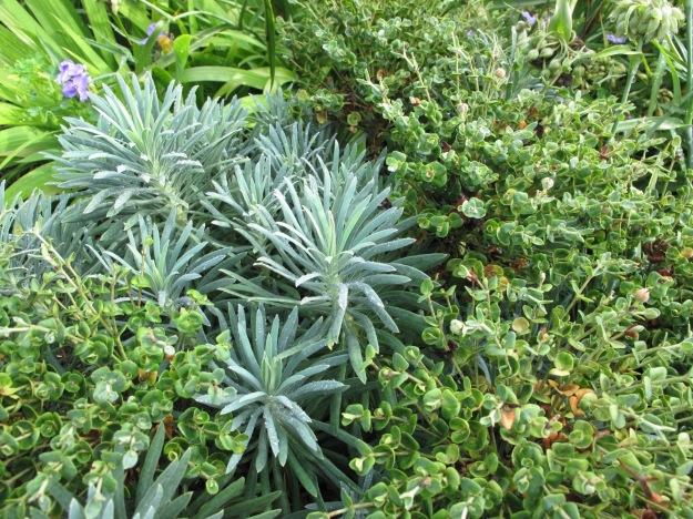 Euphorbia 'Shorty' (Shorty Spurge)
