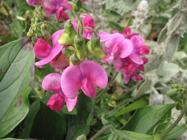 Lathyrus latifolius (Perennial Sweet Pea)
