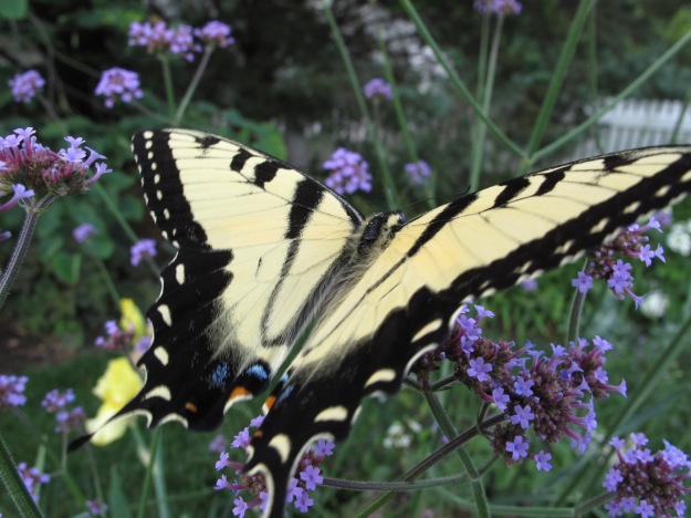 male Eastern tiger swallowtail (Papilio glaucous) enjoying Verbena bonariensis (Tall Verbena)