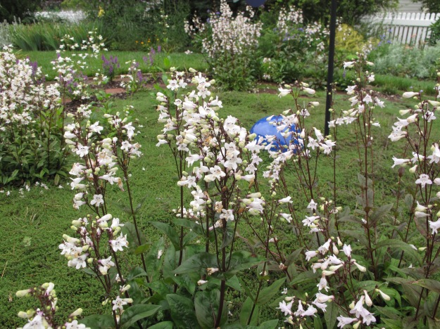 Penstemon digitalis 'Husker Red' (Beardtongue)