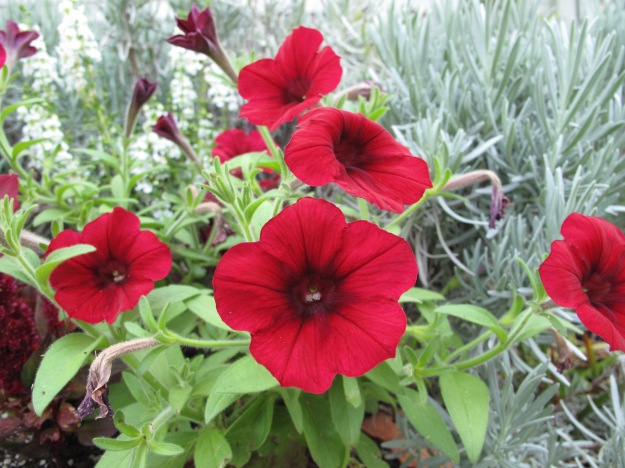 Petunia Easy Wave 'Red Velour'