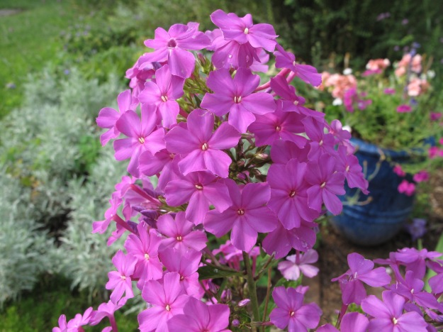 Phlox paniculata, possibly 'Robert Poore'