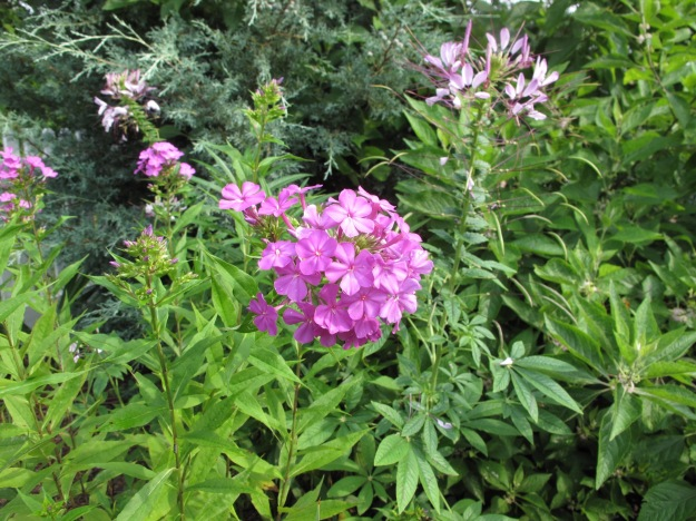 Phlox paniculata and Cleome hassleriana (Spider Flower)