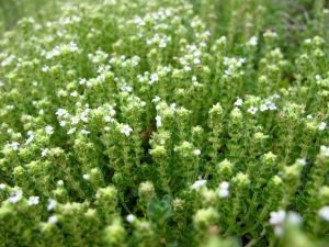 Thyme In Meditation Circle (unknown variety)