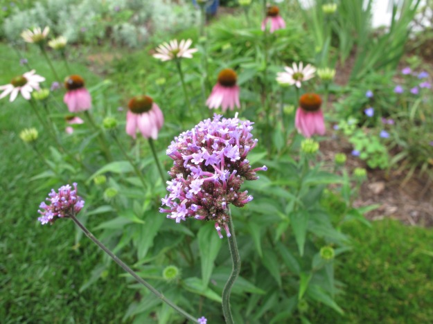 Verbena bonariensis (Tall Verbena) with Echinacea purpurea (Purple Coneflower)