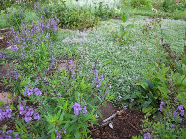Angelonia 'Serena Purple', Thymus serpyllum 'Pink Chintz'
