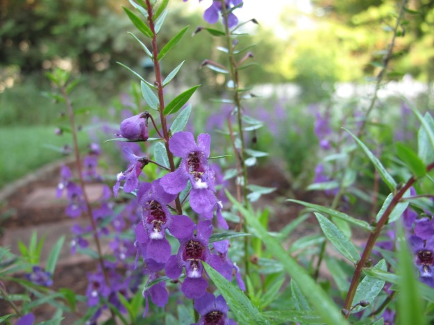 Angelonia 'Serena Purple'