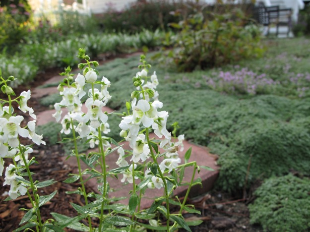 Angelonia 'Serena White'