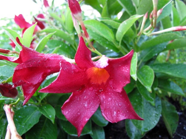Dipladenia 'Madinia Deep Red'
