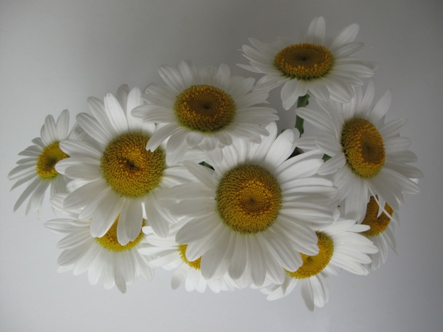 Shasta Daisies, from above