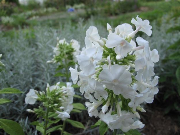 Phlox paniculata ' David' (Garden Phlox)