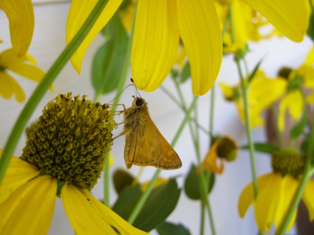 Unknown Skipper on Rudbeckia laciniata (Green-Headed Coneflower)