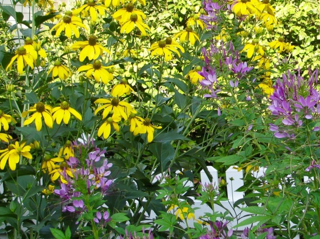 Rudbeckia laciniata (Green-Headed Coneflower) and Cleome