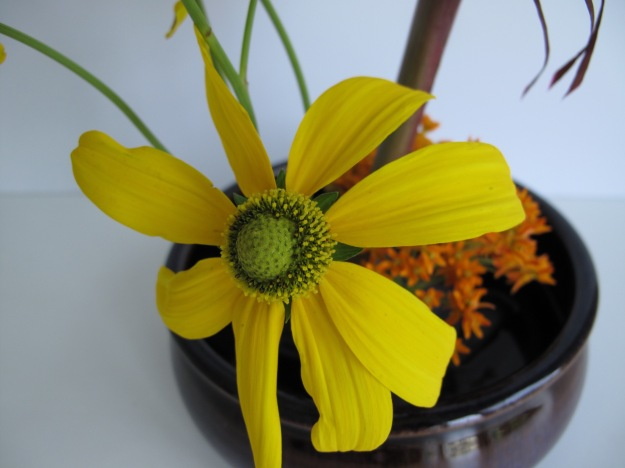 Rudbeckia laciniata (Green-Headed Coneflower)