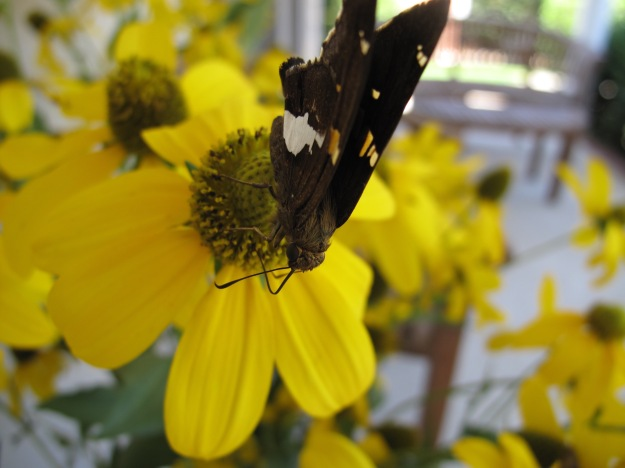Rudbeckia laciniata (Green-Headed Coneflower) With Silver-spotted Skipper (Epargyreus clarus)