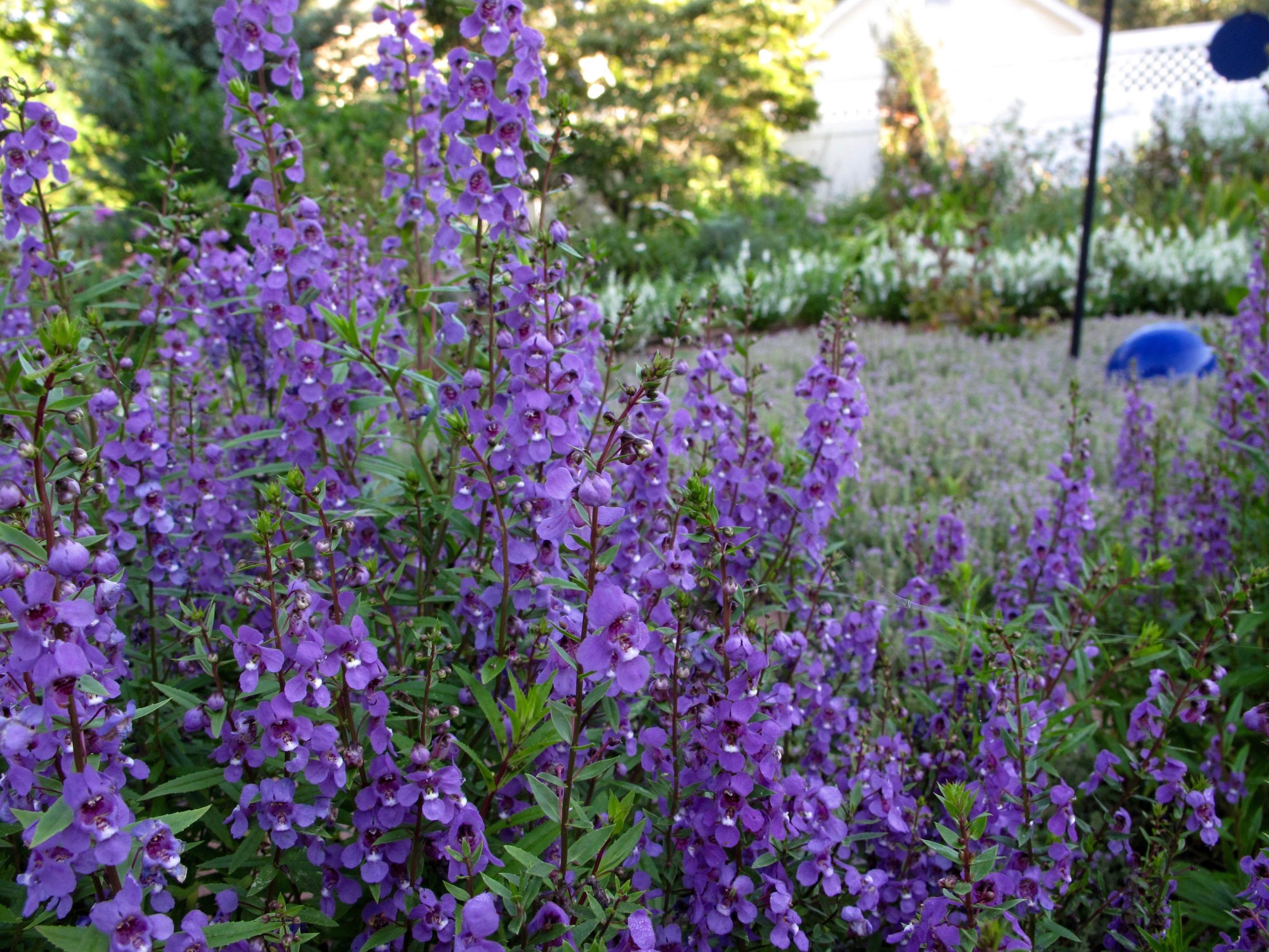Angelonia serena
