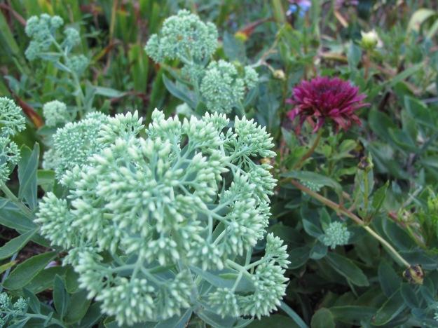 Dahlia And Sedum 'Autumn Joy' (Herbstfreude)