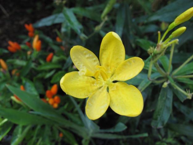 Iris domestica (blackberry lily)